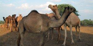 camelfarm-bikaner
